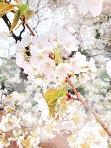 桜のオーラ